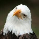 An American Bald Eagle at  a bird sanctuary near Otavalo, Ecuador